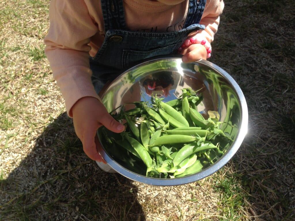 スナップエンドウ収穫