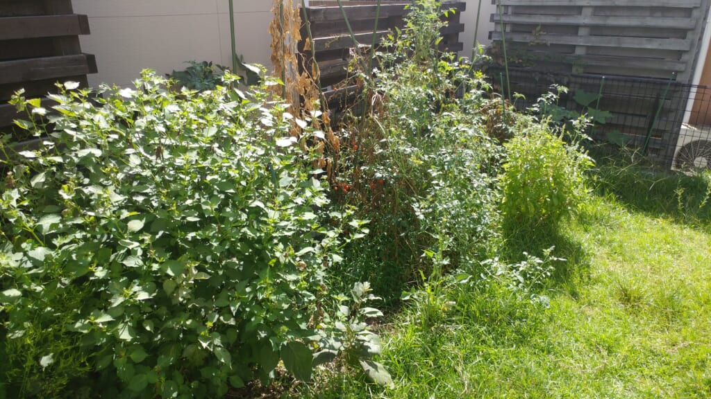 夏野菜 家庭菜園 荒れた畑
