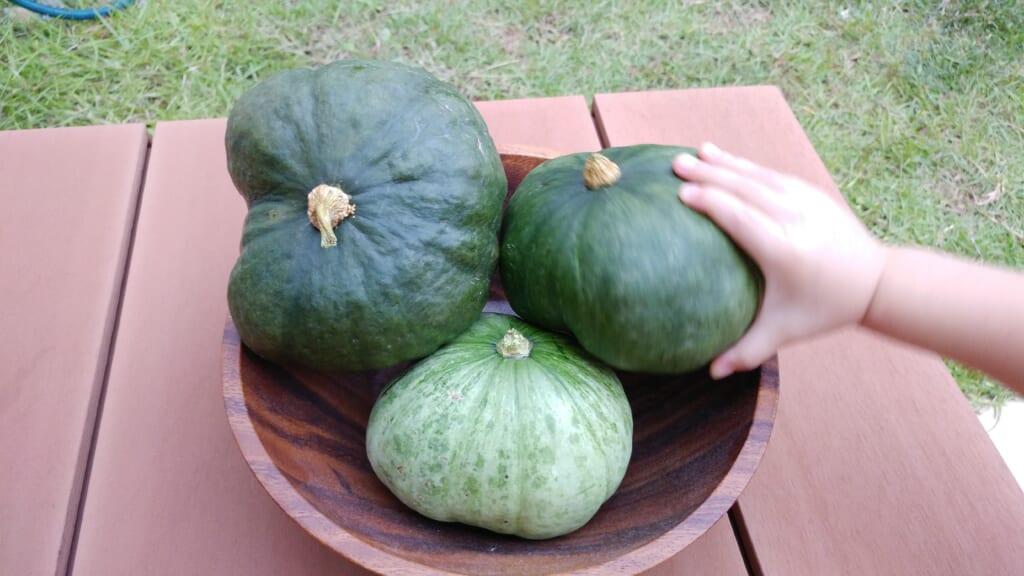 家庭菜園 かぼちゃ たくさん収穫